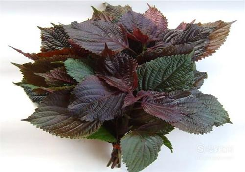 紫苏叶的食用方法